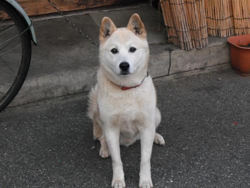 飛騨高山のホワイト犬